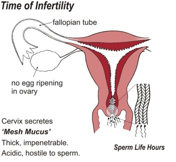 Time of Infertility. Cervix secretes 'Mesh Mucus' which is thick, impenetrable, acidic and hostile to sperm. Sperm life is a matter of hours.