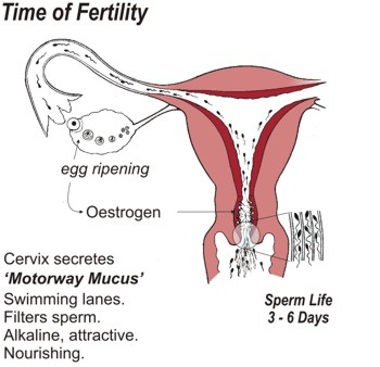 Time of Fertility. Cervix secretes 'Motorway Mucus' which creates swimming lanes, filters sperm, is alkaline, attractive and nourishing. Sperm life is three to six days.