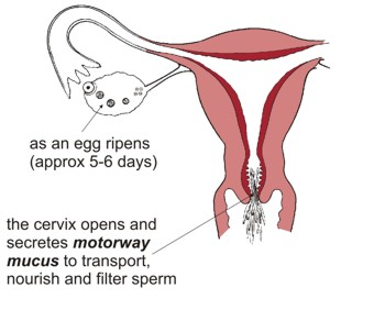 As an egg ripens (approx five to six days) the cervix opens and secretes 'motorway mucus' to transport, nourish and filter sperm. No intercourse at this time: no pregnancy.