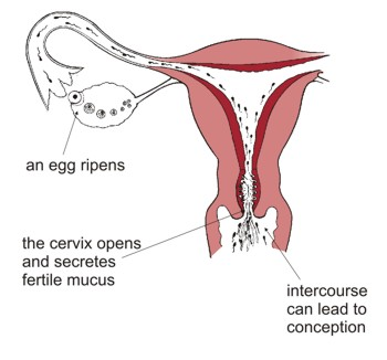 As an egg ripens the cervix opens and secretes fertile mucus. Intercourse can lead to conception.