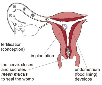 After fertilisation and implantation the cervix closes and secretes 'mesh mucus' to seal the womb.