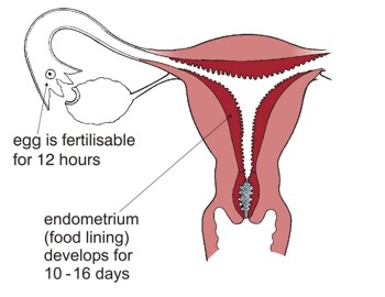 Ovulation and womb preparation. The egg is fertilisable for 12 hours. Endometrium (food lining) develops for 10 - 16 days.