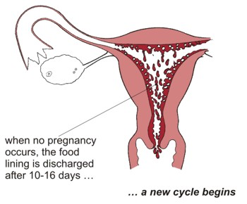 Leading to menstruation. When no pregnancy occurs, the food lining is discharged after 10 - 16 days ... a new cycle begins.